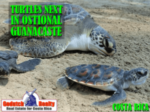 Costa Rica Turtles nest in Ostional Beach